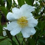Camellia sasanqua Orcival (2)