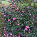 Camellia sasanqua Shishigashira (1)