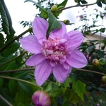 Dahlia imperialis Double or Nothing (1)