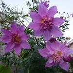 Dahlia imperialis Double or Nothing (2)