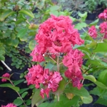 Lagerstroemia indica Dynamite (4)