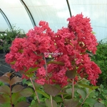 Lagerstroemia indica Dynamite (1)