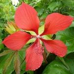 Hibiscus coccineus (6)