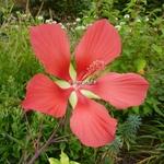 Hibiscus coccineus (3)