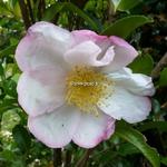 Camellia sasanqua Fukuzutsumi