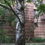 Betula pendula (1)