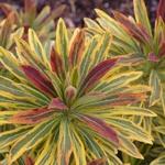 Euphorbia Ascot Rainbow (1)