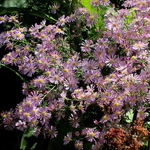 Aster Pink Star (1)