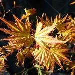 Acer plamatum Orange Dream (1)