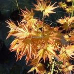 Acer plamatum Orange Dream (3)