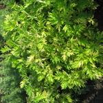 Artemisia vulgaris Orientale Limelight (2)