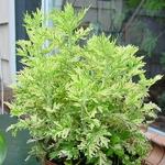Artemisia vulgaris Orientale Limelight (3)