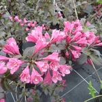 Weigela Minor Black (2)