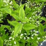 Deutzia gracilis Aureovariegata