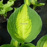Hosta Sweet Heart (1)