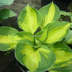 Hosta Sweet Heart
