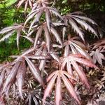 Acer palmatum Trompenburg (1)