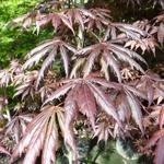 Acer palmatum Trompenburg (2)