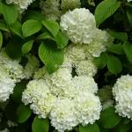 Viburnum plicatum Newport (5)