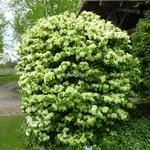 Viburnum plicatum Newport (2)