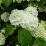 Viburnum plicatum Newport (4)
