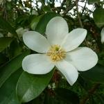 Magnolia yunnanensis (1)