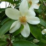 Magnolia yunnanensis (3)