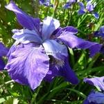 Iris sibirica (15)