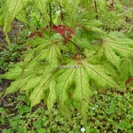 Acer palmatum Aka Shigitatsusawa (5)