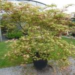 Acer palmatum Aka Shigitatsusawa (1)