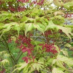 Acer palmatum Aka Shigitatsusawa (2)