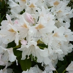 Rhododendron Mme masson (1)