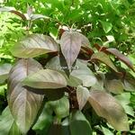 Hydrangea aspera Hot Chocolate (3)