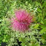 Callistemon Hot Pink (3)