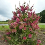 Callistemon Hot Pink (1)