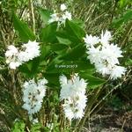 Deutzia pulchra