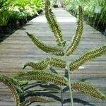 Dryopteris sieboldii (1)