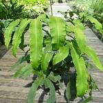 Dryopteris sieboldii (2)