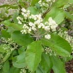 Photinia prionophylla (1)