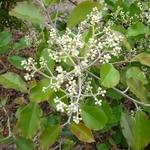 Photinia prionophylla (2)