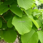 Styrax obassia (1)