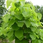 Styrax obassia (2)