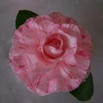 camellia%20japonica%20carter%20sunburst