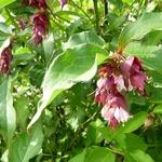 Leycesteria formosa Purple Rain