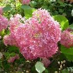 Hydrangea arbrorescens Invincibelle (4)