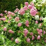 Hydrangea arbrorescens Invincibelle (1)