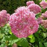 Hydrangea arbrorescens Invincibelle (2)