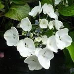 Hydrangea macrophylla Blanc Bleu