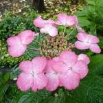 Hydrangea macrophylla Dancing Lady (1)
