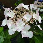 Hydrangea macrophylla Love You Kiss (2)